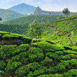 Tea plantations — Foto de Stock