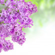 Stock Photo: Lilac on green