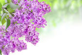 Lilac on the green — Stock Photo