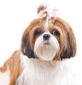 Cachorro shih tzu em estúdio com fundo branco — Fotografia Stock