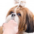 Grooming the Shih Tzu dog isolated on white — Stock Photo #23093238