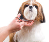 Grooming the Shih Tzu dog isolated on white — Stockfoto
