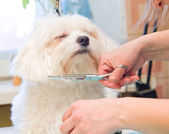 Grooming Maltese dog — Stock Photo