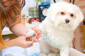 Grooming Maltese dog — Stockfoto