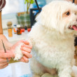 Stock Photo: Grooming Maltese dog
