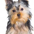 Yorkshire terrier on white background — Stock Photo #24375975