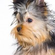 Stock Photo: Yorkshire terrier on white background