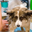 Grooming dog — Stockfoto