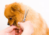 Grooming pomeranian dog — Stock Photo