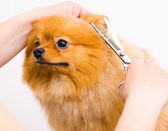 Grooming pomeranian dog — Stockfoto