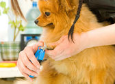 Hands using pet clippers to trim dogs toenails — Stock Photo