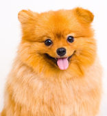 Pomeranian dog on a white background — Stock Photo