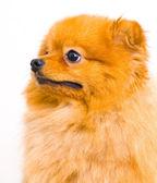 Pomeranian dog on a white background — Fotografia Stock