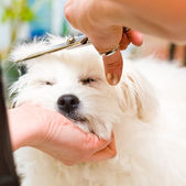 Grooming Maltese dog — 图库照片