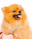 Grooming pomeranian dog — Stock Photo