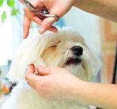 Strzyżenie psów — Zdjęcie stockowe
