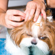 Grooming the Shih Tzu dog — Stock Photo