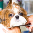 Grooming the Shih Tzu dog — Stock Photo #27495299