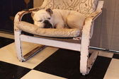 Beautiful English Bulldog dog having a rest in an armchair — Stock Photo