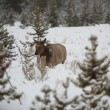 Young Elk In Yellowstone - Stockfoto