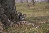 Eekhoorn — Stockfoto