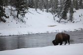 Bison-buffalo walking near the river in Yellowstone NP — Stock Photo