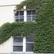 Evergreen foliage surrounding a windows on an ivy covered wall — Stock Photo