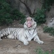 White tiger, Beijing, China — Stock Photo #18466361