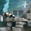 Panda, Beijing, Panda — Stock Photo