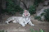 White tiger, Beijing, China — Stock Photo