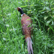 Pheasant in the grounds of Glamis castle, Scotland - Stock Photo
