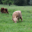 Stock Photo: Scottish highland cow