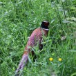 Pheasant in the grounds of Glamis castle, Scotland — ストック写真