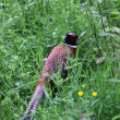 Pheasant in the grounds of Glamis castle, Scotland — Stock Photo