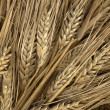 Grain ears — Stock Photo #31000455