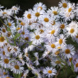 Many daisies in top view — Stock Photo