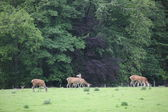 Cerfs dans le domaine blair castle, Écosse, Royaume-Uni — Photo
