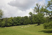 Sheeps on the field, Blair Castle — 图库照片