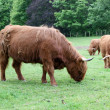 Stock Photo: Herd Scottish highland cows
