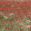 Stock Photo: Red poppy field