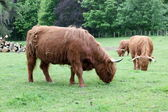 Herd Scottish highland cows — Stock Photo