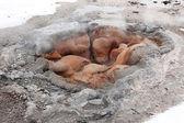 Hot geyser in Yellowstone NP USA — Stock Photo