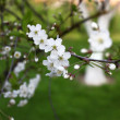 White flowers of the cherry blossoms — Stock Photo