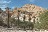 Pamls at Mt in national park Ein Gedi — Stock Photo