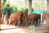 Thai Elephant — Stock Photo