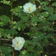 White roses. — Stock Video