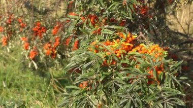Sea-buckthorn. — Stockvideo