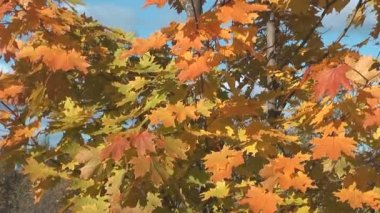 Autumn maple. — Stock Video