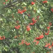 Stock Video: Red ashberry.