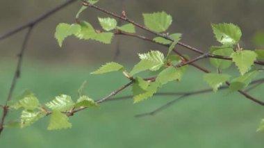 桦木科. — 图库视频影像